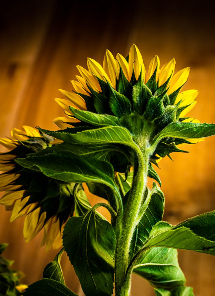 Sunflower photo by Sam Tench