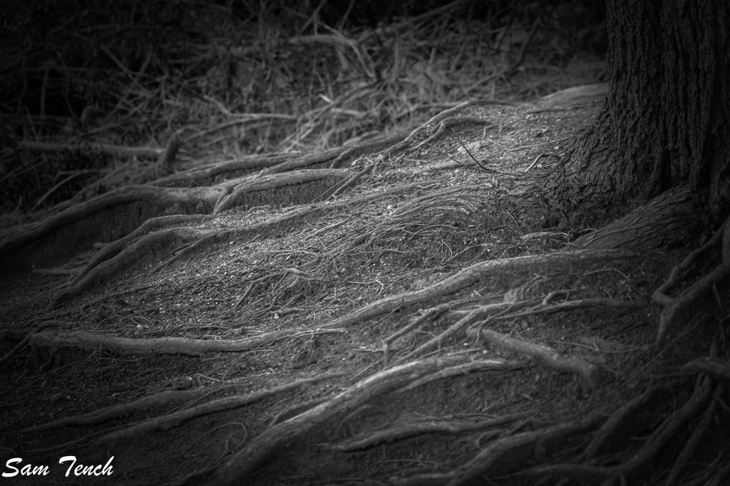 Tree roots by Sam Tench